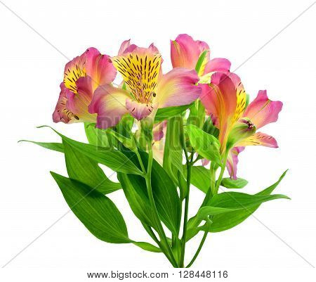 ( Alstroemeria) . Bunch pink alstroemeria flowers isolated on white background without a shadow.