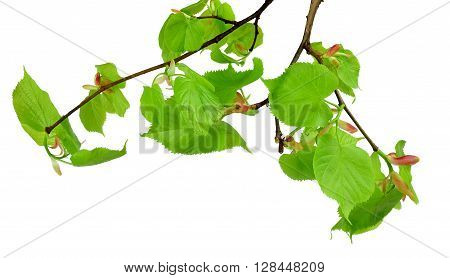 Very young leaves and buds of linden. Early spring. Branch isolated on white background without shadows.