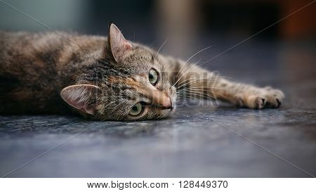 Domestic striped cat lies on a floor.