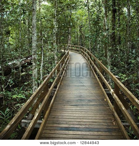 Wooden boardwalk through forest in  Daintree Rainforest, Australia.