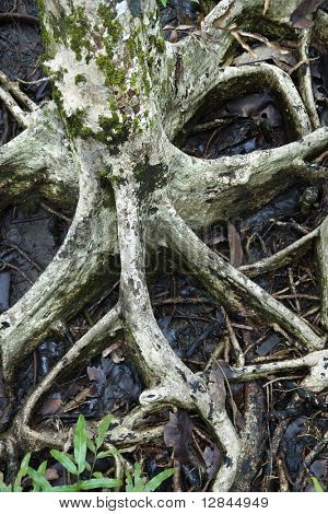 Roots of tree spreading out in wet ground in Daintree Rainforest, Australia.