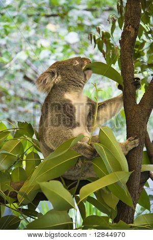 Koala in tree eating eucalyptus leaves in Australia.