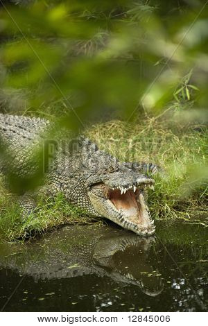 Crocodile with mouth wide open by water edge in Australia.