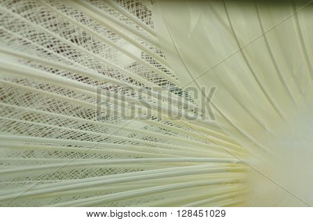 close-up of feather tail of an albino peacock