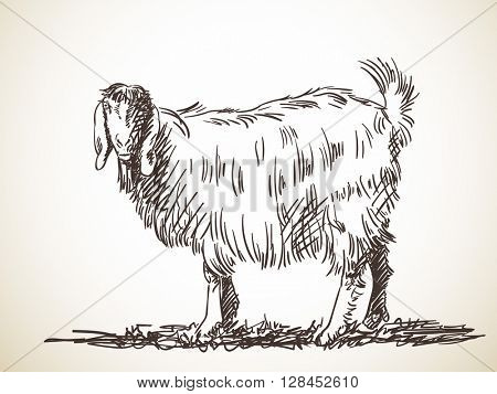 Sketch of goat Hand drawn illustration Isolated