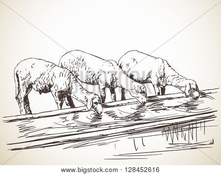 Sketch of three sheeps drinking water Hand drawn illustration