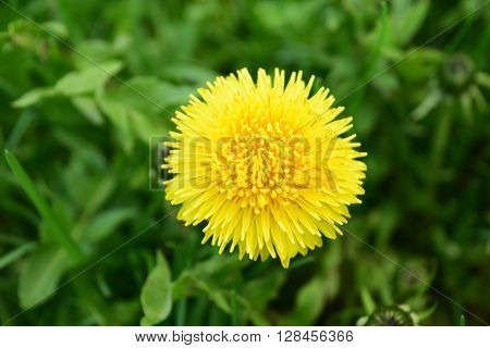 yelow dandelion in may month in green grass