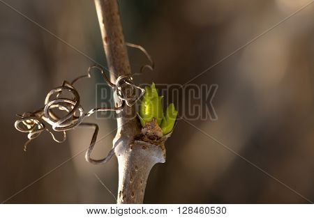 green kidney on a grapevine. The spring a rod is lit with the sun a kidney of color of gentle green leaves. Close up small depth of sharpness