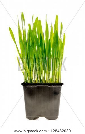 Fresh green wheatgrass growing in black pot