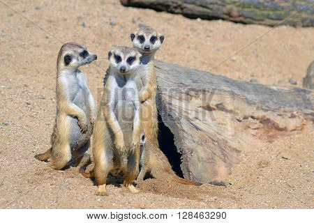 group of three Suricatas on sand in zoo