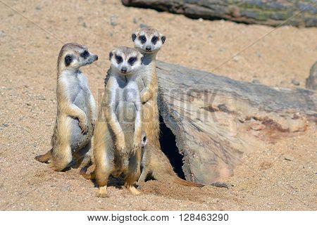 group of three Suricatas on sand in zoo