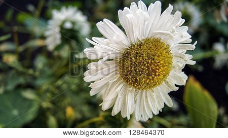Blossomed in the meadow white Daisy flower.