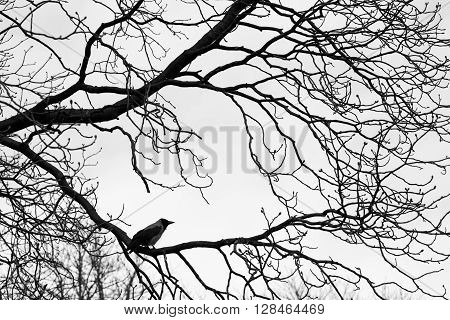 Crows  on tree branches. Black and white. background
