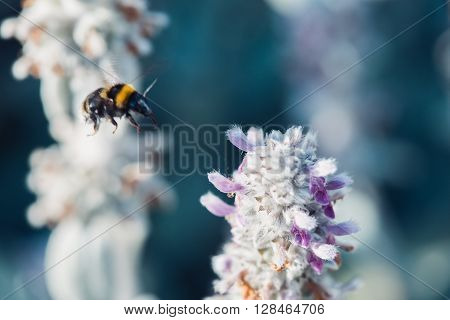 macro shot of flying bumblebee collecting pollen from a flower.  with copyspace