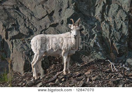 Dall Sheep Lamb