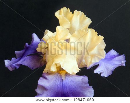 Purple and yellow hybrid Iris in full Spring bloom