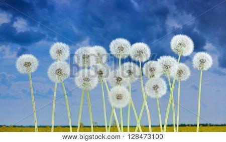 dandelion flower on summer field background, many closeup object