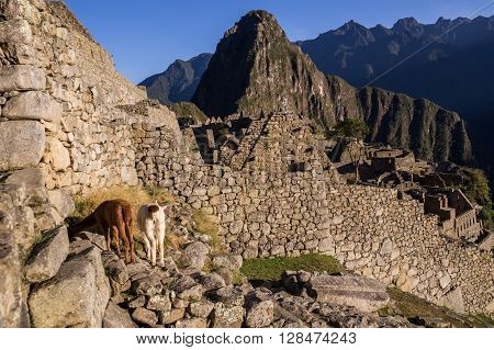 Two lamas in the famous Inca city of Machu Picchu standing in front of a wall - Machu Picchu, PERU in October 2015