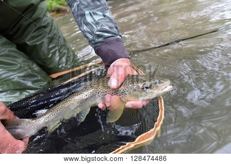 Closeup of fario trout caught by fisherman