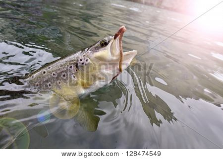 Closeup of brown trout caught by fly-fisherman