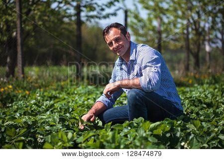Farmer In Strawberry Field