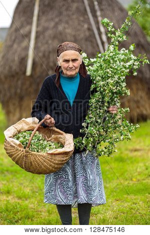 Old Woman Picking Hawthorn Flowers