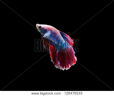 Capture the moving moment of siamese fighting fish isolated on black background. Betta fish