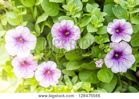 Purple Petunia Flowers In The Garden In Spring Time