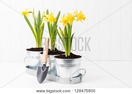 Metal planter holding three beautiful spring daffodils.