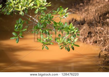 A brown stream flowing in strong sunlight under a branch of green mangrove.