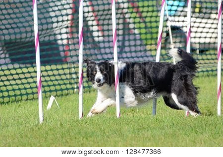 LAKE ELMO, MN - JUNE 8 2016: Border Collie Weaving Through Poles at a Dog Agility Trial