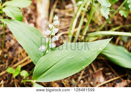Lonely uncultivated lily of the valley flower in forest.