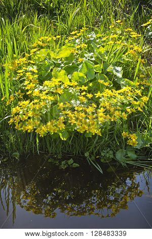 Blooming marigolds on the edge of the trench with water. Clump of marsh marigolds in the light of the afternoon sun.