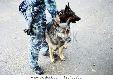 Legs of policeman in camouflage with two shepherds outdoor.