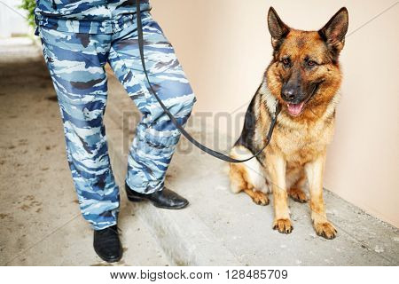 Legs of policeman in camouflage with shepherd outdoor.