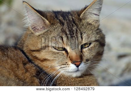 domestic cat