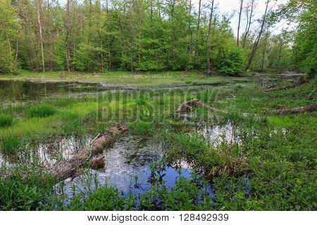 scene with bog in green forest