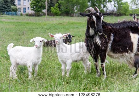 goatlings with a goat are grazing on the grass in the village.