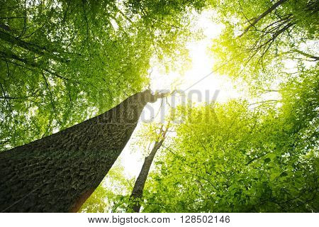 Forest with tall trees and bright sun