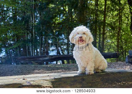 Havanese Dog At Lake Attersee