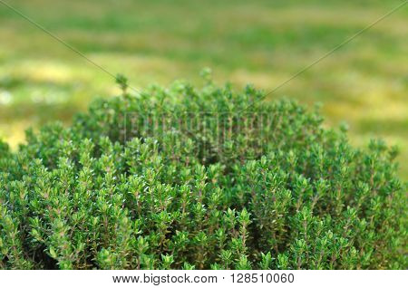 close up  on green  thyme in garden