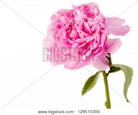pink peony on a white background .