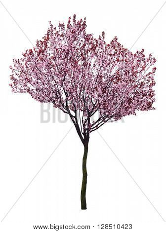 Blossoming pink tree isolated on white