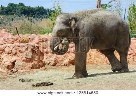 One asian elephants in a zoo