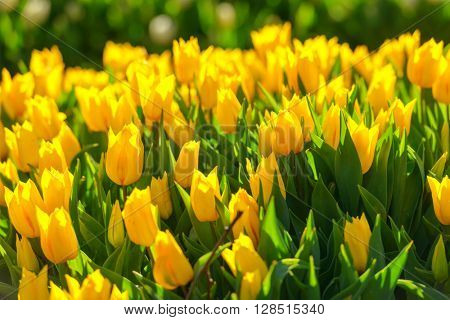 yellow tulip field close up