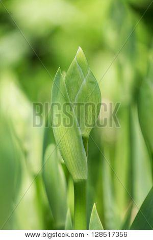 Buds of iris, green plant