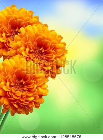 Orange chrysanthemum autumn flower over bright nature background