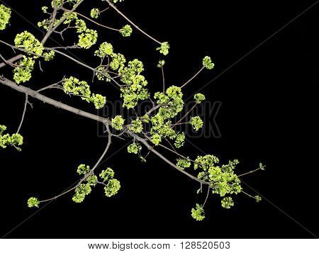 Tree branch with green burgeons on black background