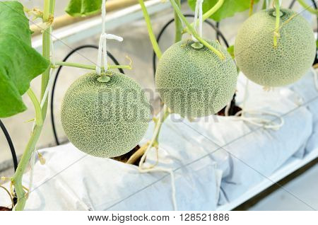 Cantaloupe Melon Growing In A Greenhouse