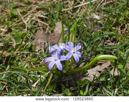 Lucile's glory-of-the-snow chionodoxa luciliae blooming in spring macro selective focus shallow DOF